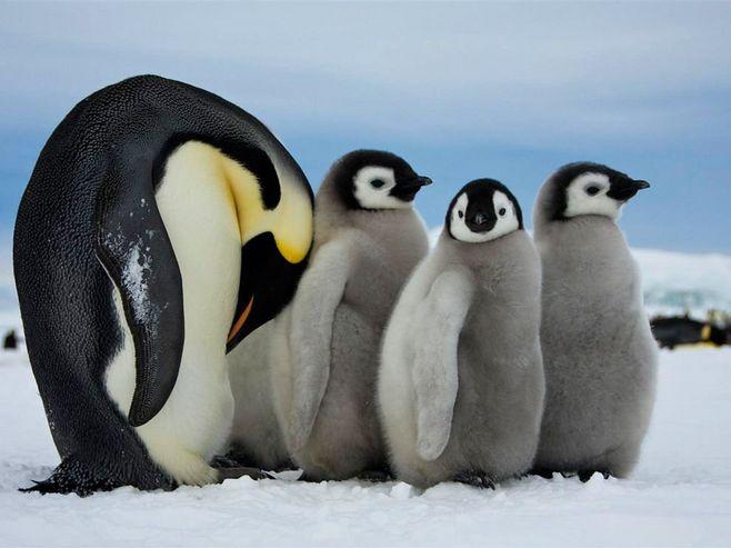 南极洲,一只成年帝企鹅负责照料年轻的幼仔...