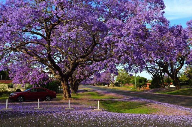 澳洲蓝花楹花期是什么时候?花开的最好的地方是哪里?