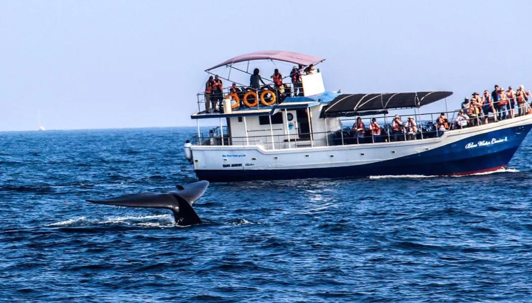 全球最佳蓝鲸观测点——斯里兰卡美瑞莎
