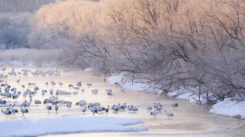冬季去日本北海道旅游,欣赏鹤居村丹顶鹤