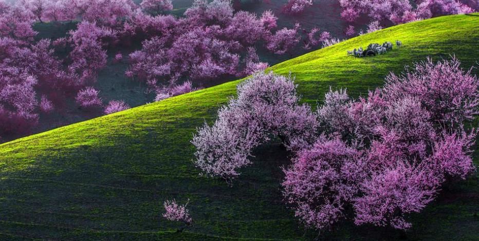 伊犁薰衣草什么时候开?去新疆伊犁旅游最佳季